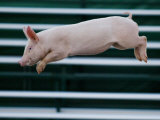 Beauty a 20-Week-Old Pig Flies Through the Air Photographic Print by Mark Baker