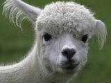 B.C., a 3-Year-Old Alpaca, at the Nu Leafe Alpaca Farm in West Berlin, Vermont Photographic Print by Toby Talbot