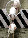 Pigs Compete the Obstacle Race at Pig Olympics Thursday April 14, 2005 in Shanghai, China Photographic Print by Eugene Hoshiko