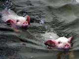 Pigs Compete Swimming Race at Pig Olympics Thursday April 14, 2005 in Shanghai, China Photographic Print by Eugene Hoshiko