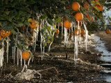 Drip Irrigation Creates Icicles and Forms an Insulation and Way of Protecting Oranges on the Trees Photographic Print by Gary Kazanjian