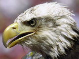 A Bald Eagle from the World Bird Sanctuary Looks on During the Playing of the National Anthem Fotografie-Druck