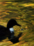 Fall Colors are Reflected in a Pond as a Duck Swims in Milan, Italy, Friday, November 3, 2006 Photographic Print by Luca Bruno