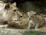 A Lion Cub Peeks into the World While Sitting Next to Its Mother Inka at the Munich Zoo Photographic Print