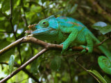 A Chameleon Sits on a Branch of a Tree in Madagascar's Mantadia National Park Sunday June 18, 2006 Photographic Print by Jerome Delay