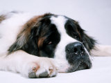 St. Bernard Dog, September 1976 Photographic Print