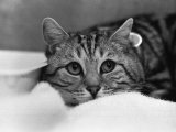 The National Cat Club Championship Show 1984 at Olympia Photographic Print