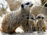 Jenny the Meerkat with Two of Her New Babies at London Zoo, June 2005 Photographic Print
