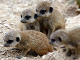 Jenny the Meerkat&#39;s Four New Babies Watch as She Stands at London Zoo Photographie