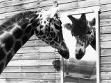 Maxi the Giraffe Gazing at Reflection in Mirror, 1980 Fotografisk tryk