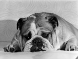 Bruce the Old English Bulldog Not Feeling His Best, November 1978 Photographic Print