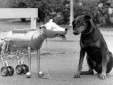 Robot Dog Meets a Real Doberman Dog Photographic Print