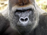 Boulas the Silverback Male Gorilla at Belfast Zoo, July 2001 Photographic Print