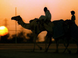 Camels at Sunset in Dubai, March 2000 Photographic Print