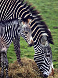 Baby Zebra with Mum Edinburgh Zoo, December 2001 Photographic Print