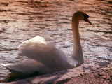 Swan Swimming at Sunset Photographic Print