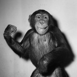 A Chimp, 1955 Photographic Print