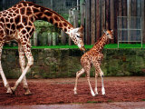 Mother and Baby Giraffe Making Its First Public Appearance at Edinburgh Zoo, January 1998 Photographic Print