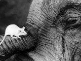 Mouse Crawls up Elephants Trunk Fotodruck
