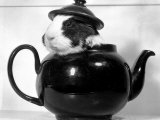 Pinkie the Guinea Pig Sitting in a Tea Pot Photographic Print