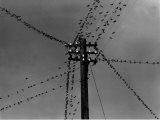 Swallows on Telegraph Pole Getting Ready for Migration Photographic Print