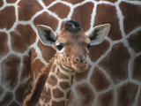 Baby Giraffe at Whipsnade Wild Animal Park Born, June 1996 Photographic Print