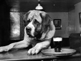 Bryan the St. Bernard Dog Enjoys a Pint, February 1956 Photographic Print