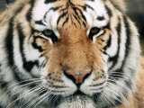 Siberian Tiger at London Zoo, March 1984 Photographic Print