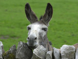 For the First Time Ever 3 Sicilian Minature Donkeys Have Been Born in Britain, 2001 Fotografisk tryk