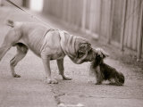 Dandelion the Chinese Shar Pei and Twiglet the Yorkshire Terrier, November 1981 Lámina fotográfica