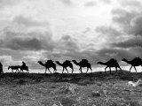 Christmas in the Holyland; a Camel Train on the Road to Jeruselem Palestine Photographic Print