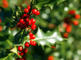 Holly Leaves with Lustrous Red Berries at Kenilworth Castle Grounds in Warwickshire Photographic Print