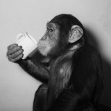 A Chimp Drinking a Cup of Tea Lámina fotográfica