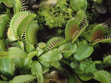 Venus Fly Trap Photographic Print