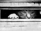 Cat Peers out of Letter Box Photographie