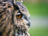 Ollie the European Eagle Owl, April 2003 Photographic Print