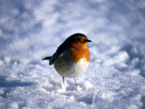 Robin in Snow Photographie