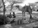 Local Men of Somaliland with Their Camels, 1935 Fotografisk tryk