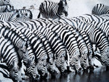 Zebra Herd Drinking at a Water Hole Etosha Game Reserve in Namibia Africa Photographic Print
