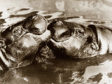 Hippos Kissing, 1965 Impresso fotogrfica