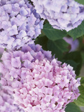 Close-up of Purple Blossoms Photographic Print