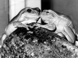 Kermit and Sheila, Tree Frog Lovers Get Close, February 1987 Photographic Print