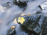 Yellow Maple Leaf on Rock in Rapids Photographic Print