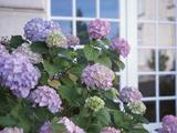 Purple Hydrangea in Front of Glass Window Reprodukcja zdjęcia