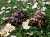 Tortoises in the Flower Beds Fotografie-Druck