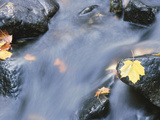 Maple Leaves on Rocks in Rapids Photographic Print