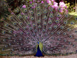 Peacock Showing off His Feathers at the Claremont Landscape Garden, Surrey, July 1986 Fotografie-Druck