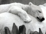 Pipaluk the Baby Polar Bear Sizzling in the Summer Hear Photographic Print