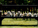 British Bulldog Puppies on a Park Bench, 1994 Photographic Print