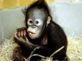 A Baby Orangutan at London Zoo, March 1984 Photographic Print